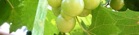 Guide Hvide druer til hvidvin hos Bilka
