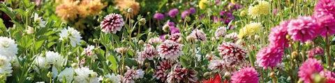 Blomsterløg og knolde til at pynte haven